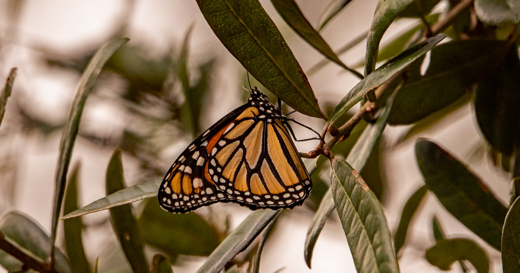 Lingering Monarch Butterfly! by rickster549