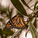 Lingering Monarch Butterfly!