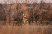 16th Nov 2020 - Buck Profile
