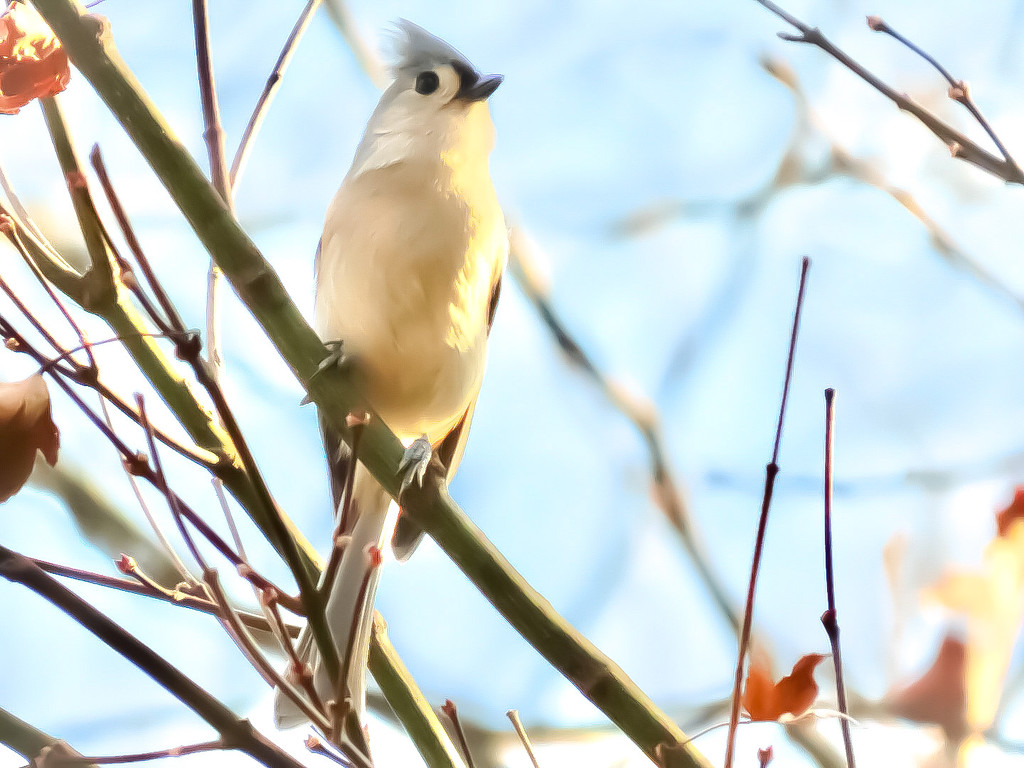 Tufted Titmouse by mzzhope