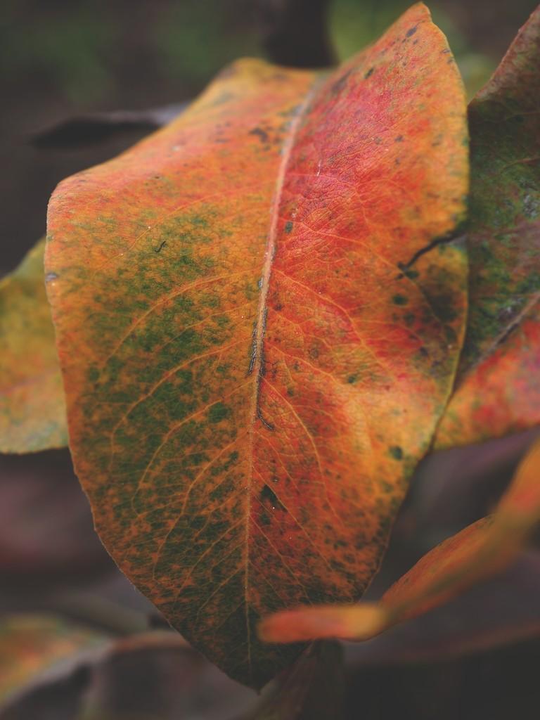 Tri-color pear tree leaf by monikozi