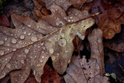 21st Nov 2020 - Oak Leaves