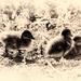 Nostalgic Ducklings