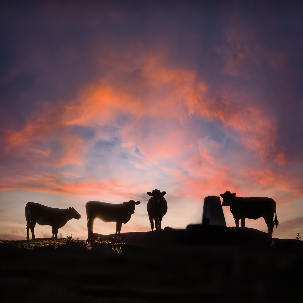 Cows on top of the hill by shepherdmanswife