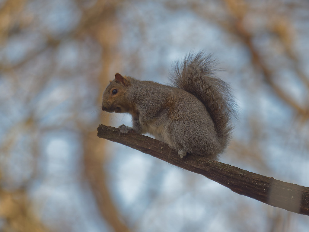 Eastern gray squirrel by rminer