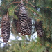 Pine tree fruit