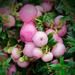 1121 - Pink Berries