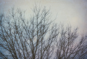 21st Nov 2020 - Lacy Branches, Pastel Sky
