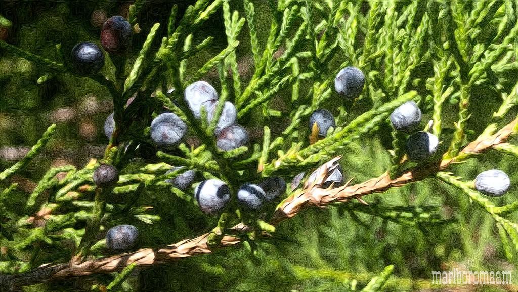 Painted cedar berries... by marlboromaam