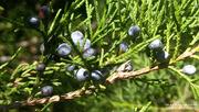 22nd Nov 2020 - Painted cedar berries...