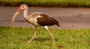 21st Nov 2020 - White Ibis!