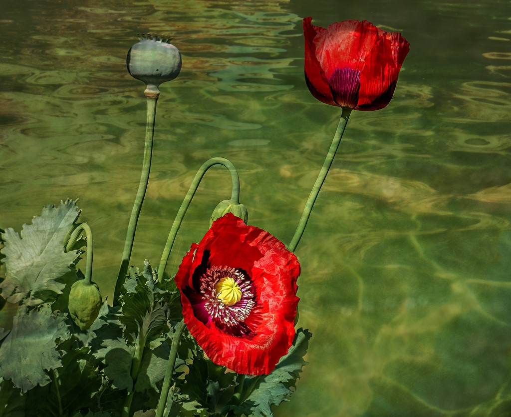 Poppies with textures  by ludwigsdiana