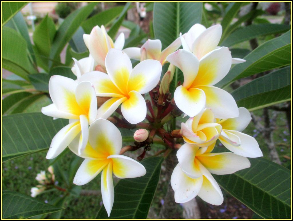 My Frangipani has started to flower after 3 years by 777margo