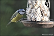22nd Nov 2020 - Blue Tit