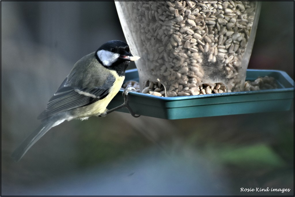 Hungry great tit by rosiekind