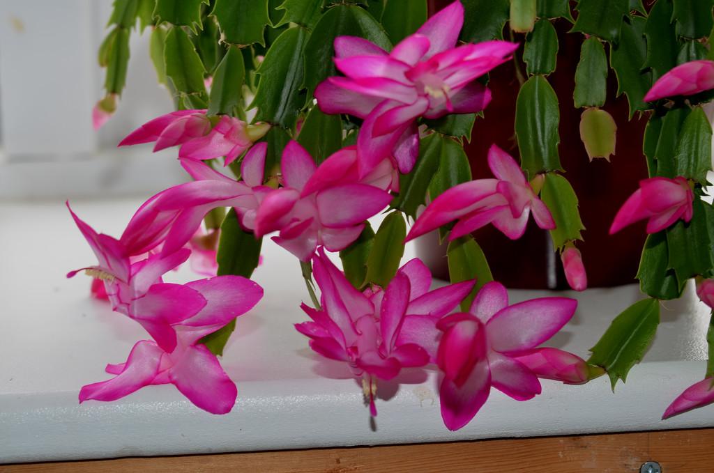 Thanksgiving Cactus Flowers by arkensiel