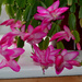 Thanksgiving Cactus Flowers
