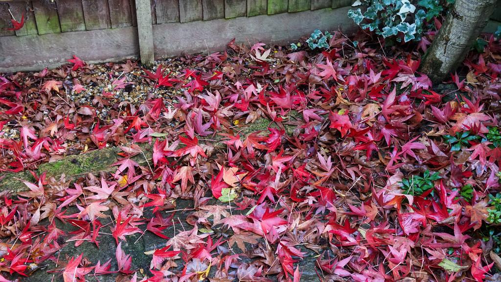 Acer in the garden  by ivan