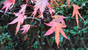 22nd Nov 2020 - More of Ambrose the Acer.