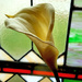 Y11 1122 Arum  Lily