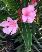 22nd Nov 2020 - Oleander