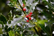 22nd Nov 2020 - The Holly without the Ivy