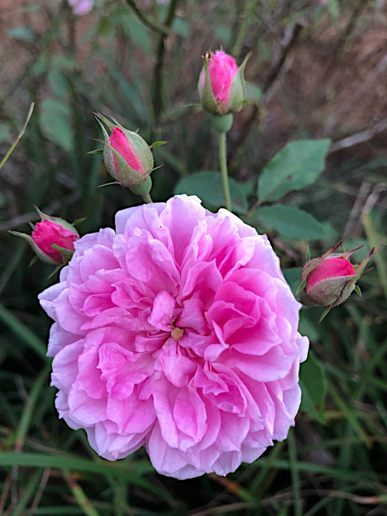 French Rose, Hampton Park Garden, Charleston by congaree