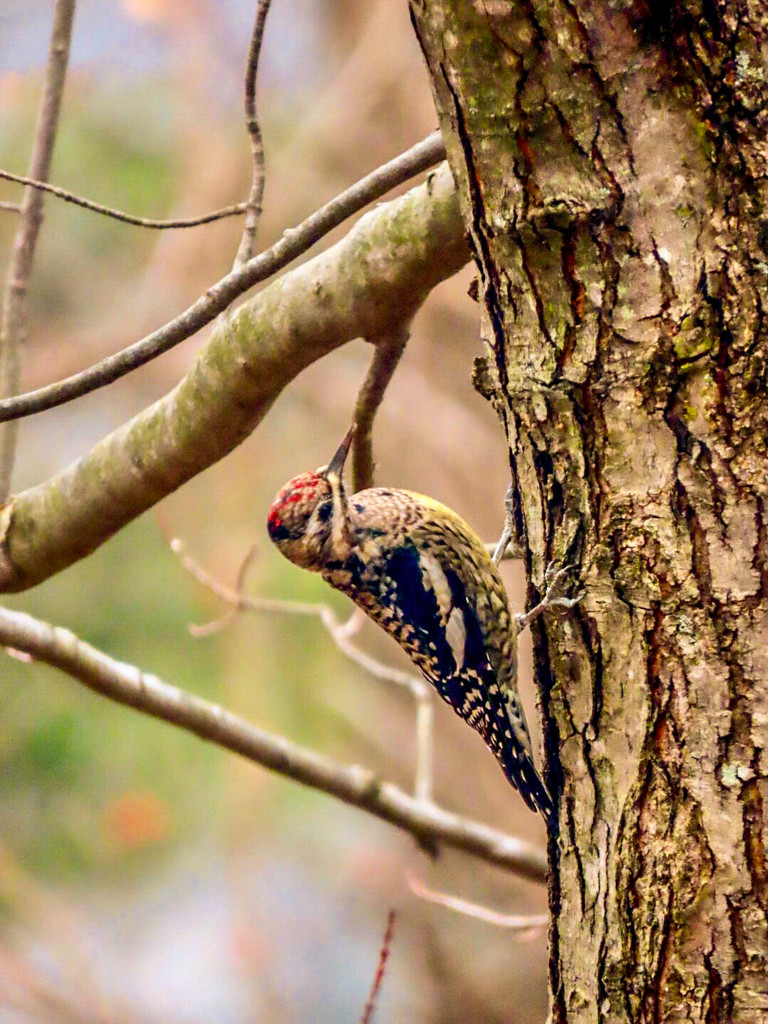 Yellow Bellied Sapsucker by mzzhope