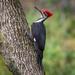 Pileated Woodpecker by backyardbirdnerd