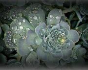 23rd Nov 2020 - succulent