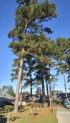 23rd Nov 2020 - A few tall pines at the PT Center...
