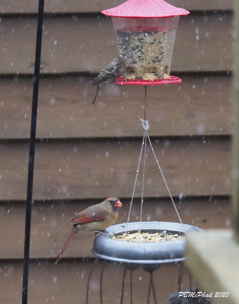 Female Cardinal by selkie