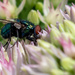 Green Bottle Fly Eats Well