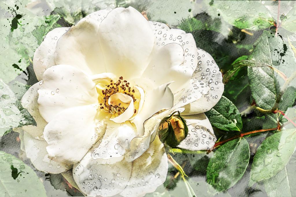 A faffed Rose  by ludwigsdiana