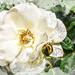 A faffed Rose