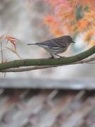 22nd Nov 2020 - Backyard bird