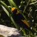 the regent bower birds are back