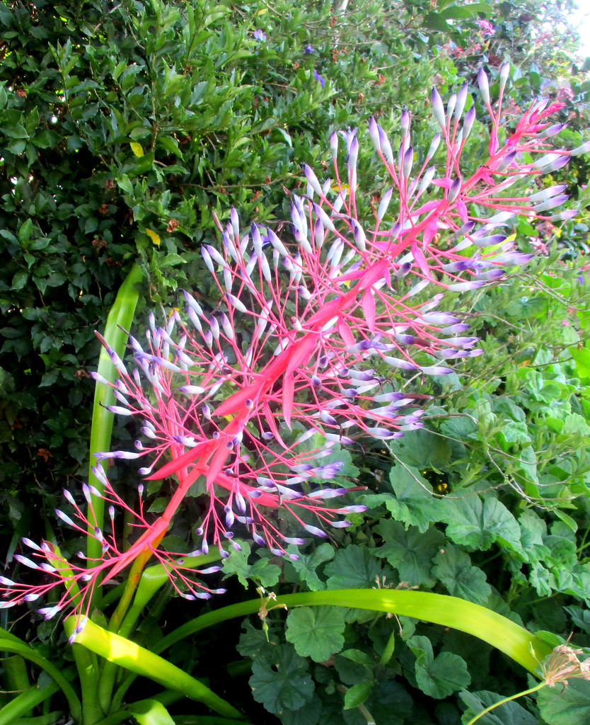 The Bromeliads are blooming well now by 777margo