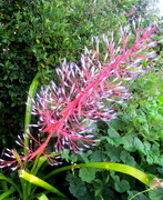 23rd Nov 2020 - The Bromeliads are blooming well now