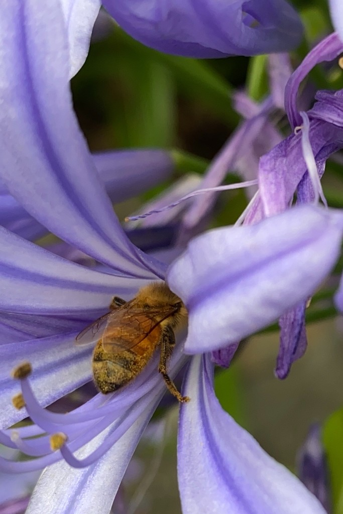 The end of my agapanthus photos and the pollinating end of a bee.  by johnfalconer