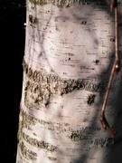 21st Nov 2020 - Silver birch bark + shadows