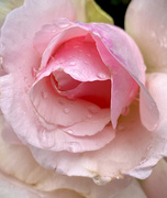 17th Nov 2020 - Pink Rose after the rain