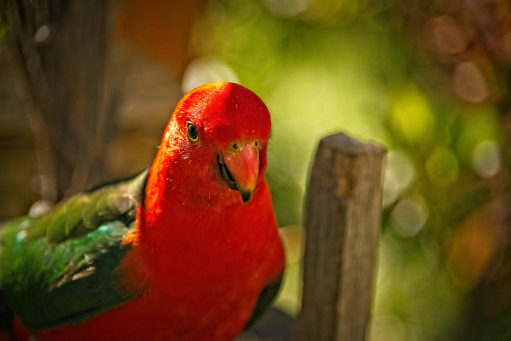 King parrot up close  by fr1da