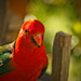 King parrot up close