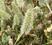 20th Nov 2020 - Tail- like grasses beside the road