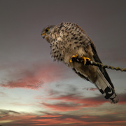 23rd Nov 2020 - Kestrel at sunset