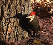 22nd Nov 2020 - Pileated Woodpecker