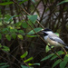 Chickadee in the Shrubs
