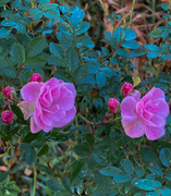 23rd Nov 2020 - Wild Roses
