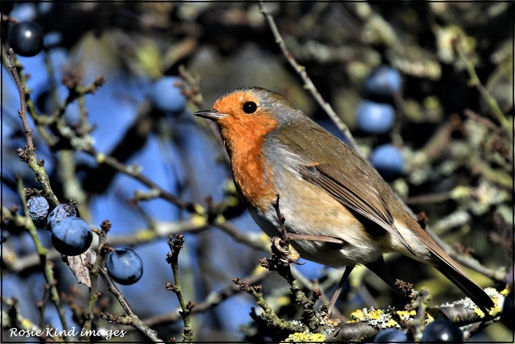 Wood Lane robin by rosiekind